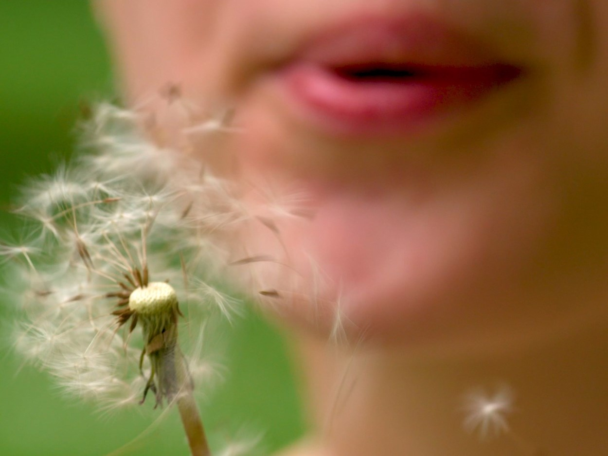 blows on a dandelion